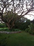 Banyan tree 2.2.11